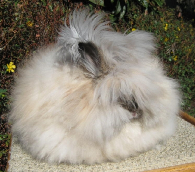 19 giant angora rabbits near alexandria la rabbits for sale in