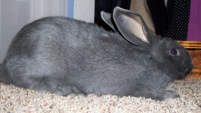 American Rabbits