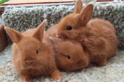 Thrianta Rabbits