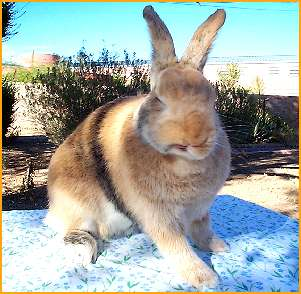 Harlequin Rabbits