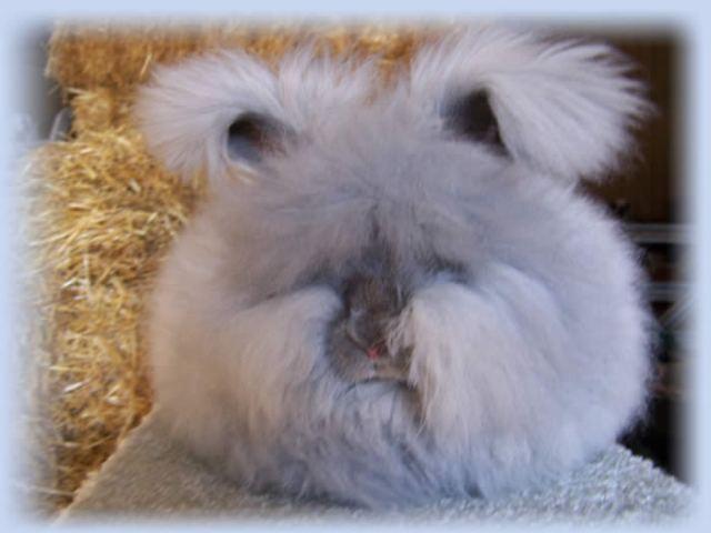 6 English Angora Bunny Rabbits located in Lafayette, Louisiana