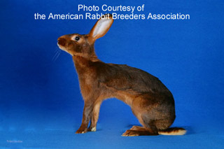 Belgian Hare Rabbits