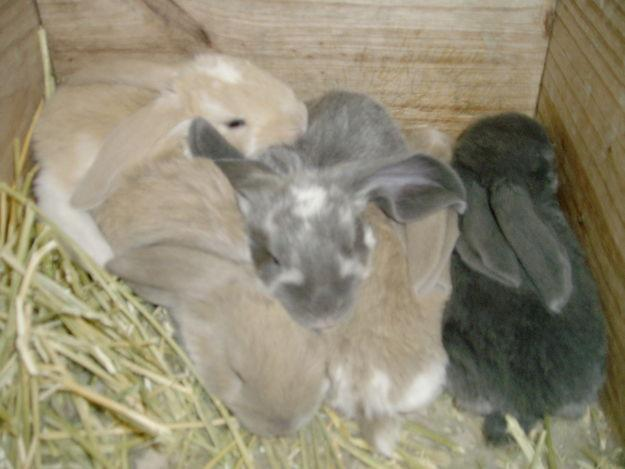 English Lop Rabbits
