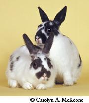 Polish Rabbits