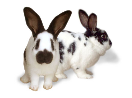 Checkered Giant Rabbits