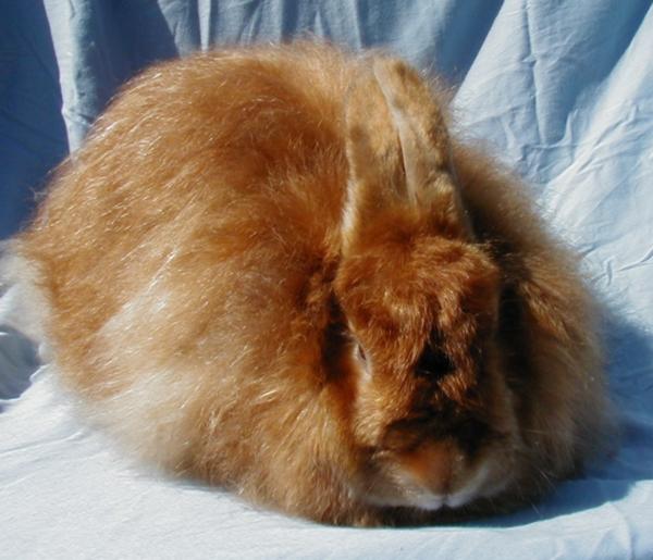 Satin Angora Rabbits