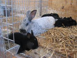 Champagne d Argent Rabbits