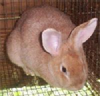 Creme d'Argent Rabbits
