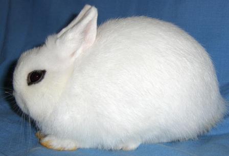 Blanc de Hotot Rabbits