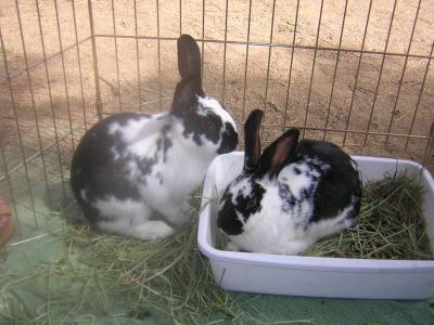 English Spot Rabbits
