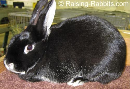 Silver Marten Rabbits