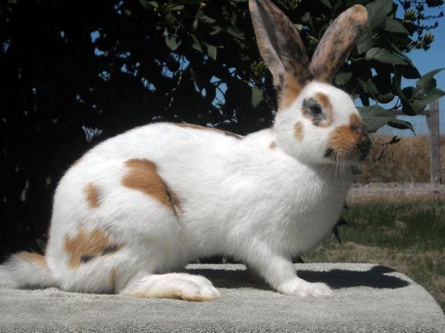 Rhinelander Rabbits