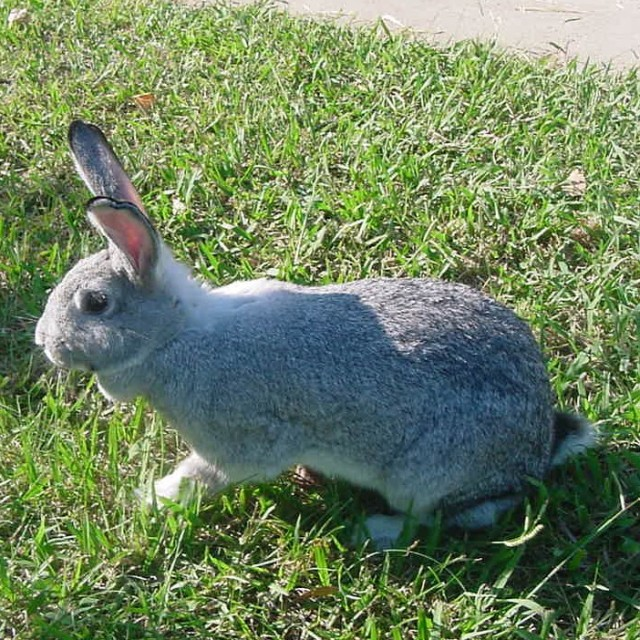 American Chinchilla Rabbits